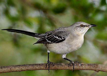 birds of chambers county northern mockingbird state bird of texas