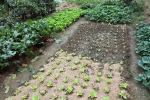 Garden-bed-succession-planting