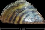 mussel_ruler