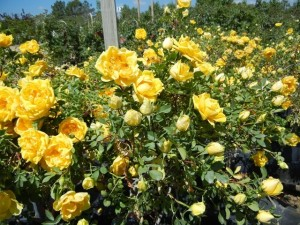 persian-yellow-rose-flowers-treefarm_1