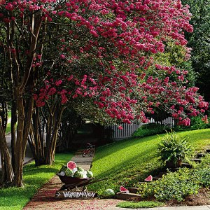 colorful-crepe-myrtles-x